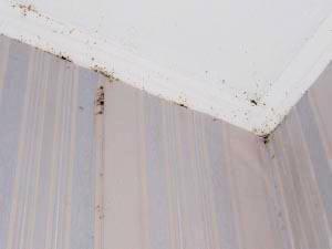 Клопы на стене и потолке