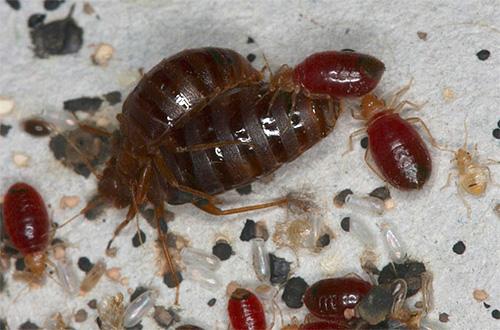 Действие инсектицидов на клопов