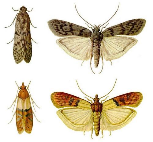 Разновидность моли - амбарная