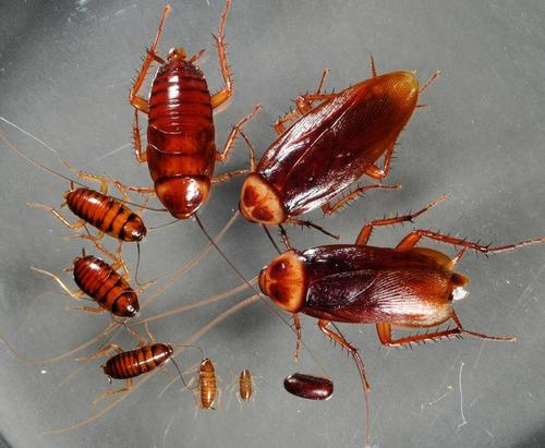Американские тараканы на разных этапах развития