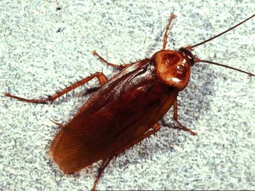 Американский представитель разновидности домашних тараканов