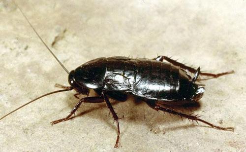 Другой вид домашнего таракана - черный