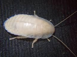 Белая личинка