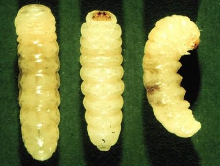 Личинки моли