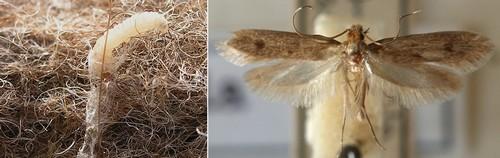 Моль и личинка
