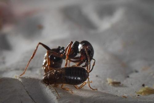 Битва насекомых