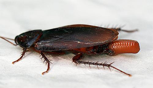 Самка насекомого носит с собой оотеку