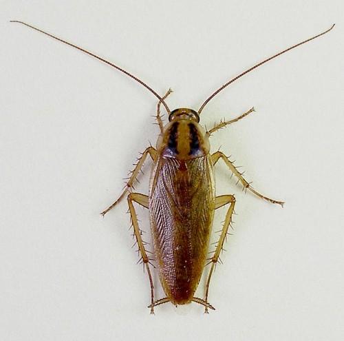 Рыжих тараканов также называют прусаками
