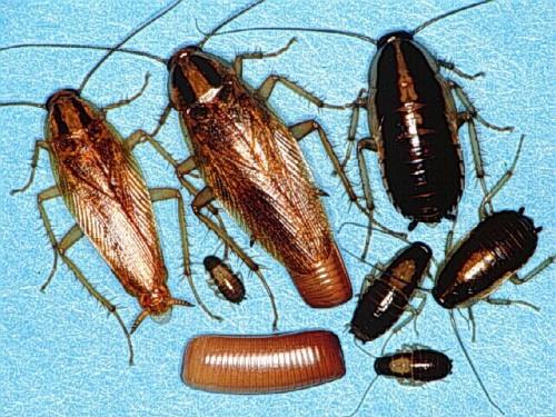 Цикл развития тараканов
