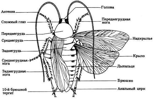 Как устроены тараканы
