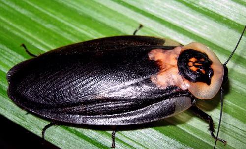 """Этот вид насекомого носит название """"Мертвая голова"""""""