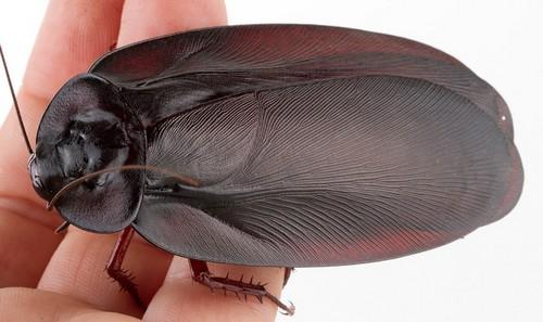 Огромный летающий вид тараканов
