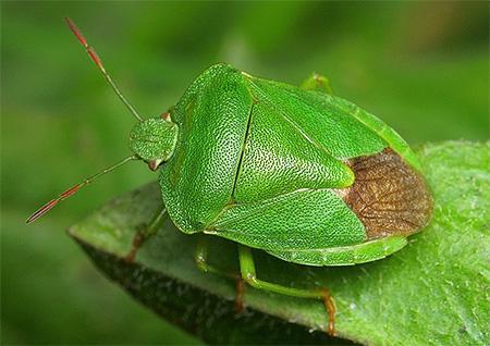 Клоп имеет зеленый окрас летом