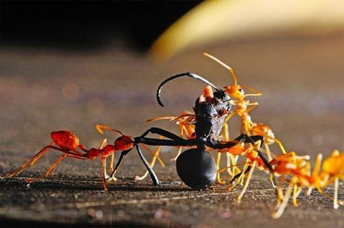 Муравьи поедают других насекомых