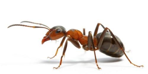 Как выглядит муравей?