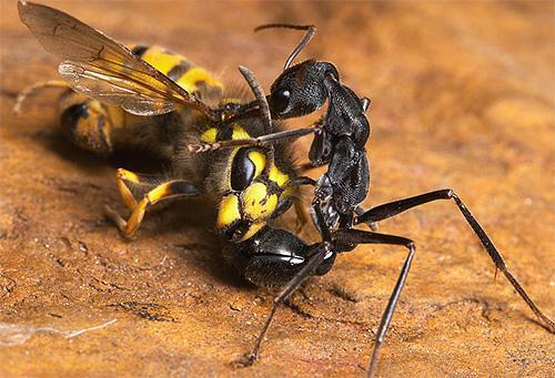Муравей убивает пчелу