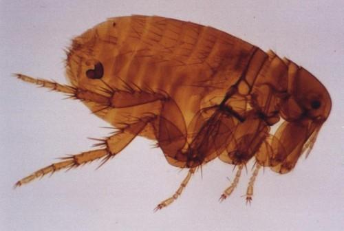 Внешний вид паразитов