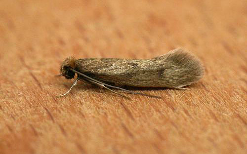 Бабочка мебельной моли