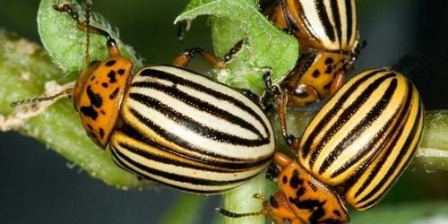 Жуки на стебле растения