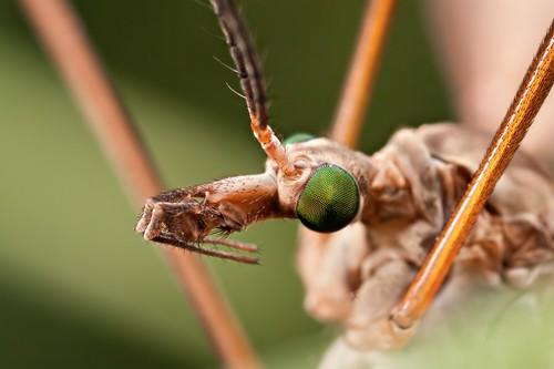 Комара долгоножка