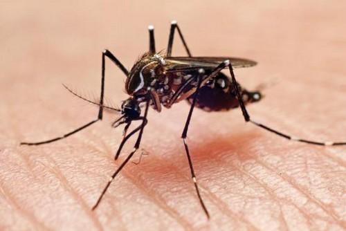 В природе встречаются разные виды комаров