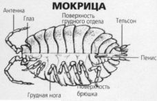 Схема органов мокрицы