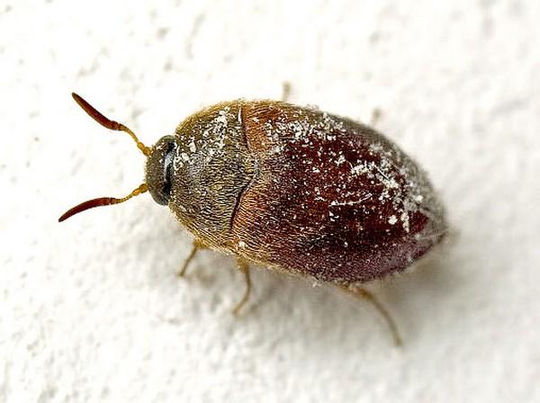 Отравленный жук