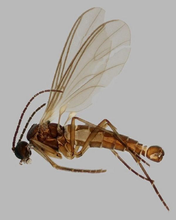 Грибной комарик