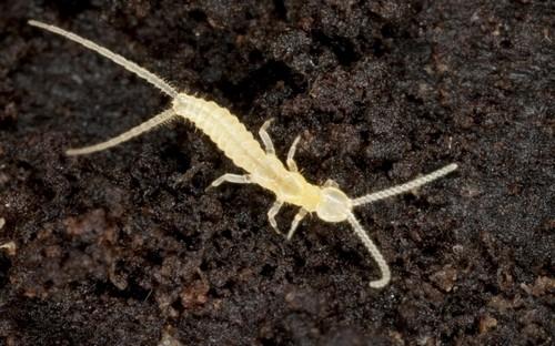 Личинка двухвостки