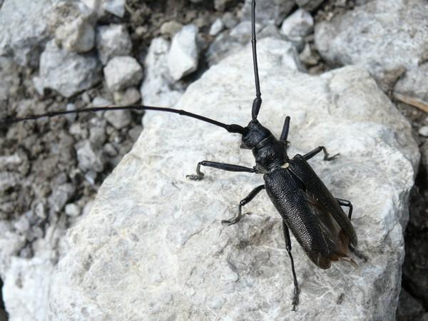 Черный жук усач