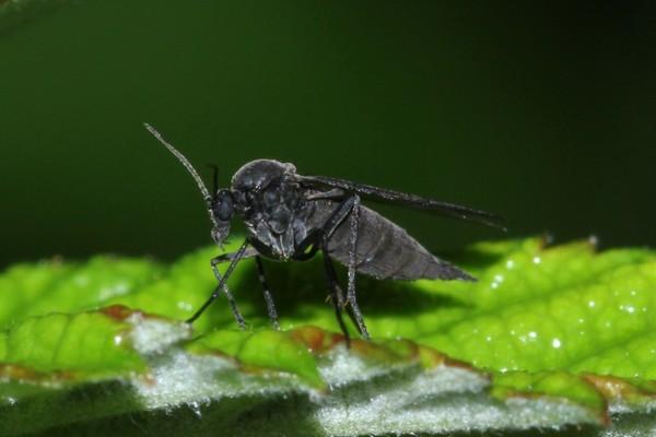 Сциарида на растении