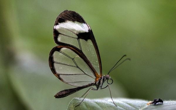 Красивая, но вредная бабочка