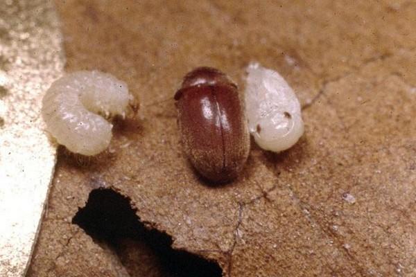 Взрослое насекомое и личинка