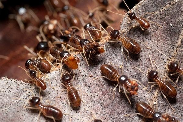 Термиты похожи на муравьев