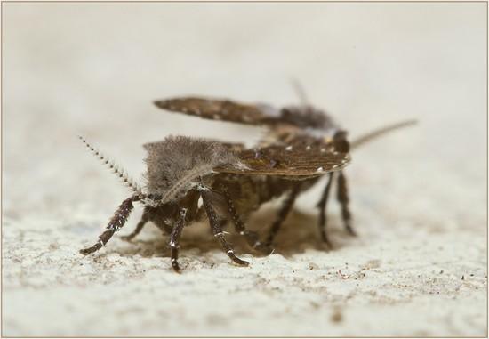 Канализационные мухи