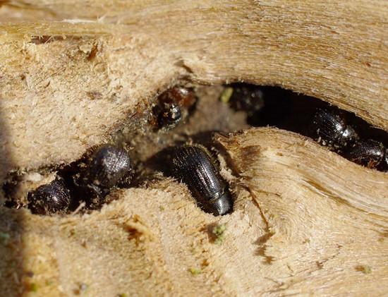 Насекомые в древесине