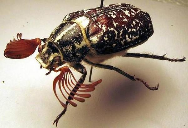 Мраморным жук