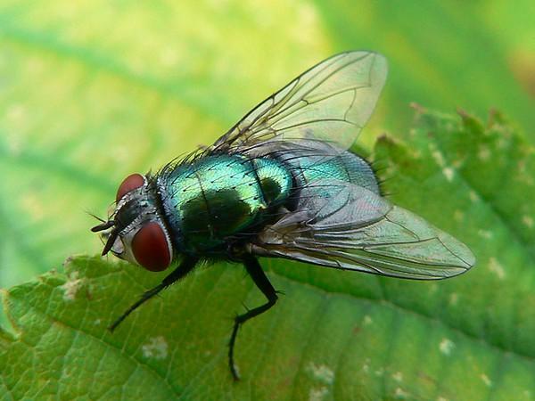 Мясная зеленая муха