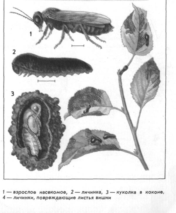 Стадии насекомого