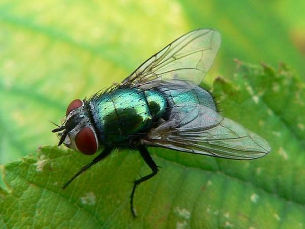 Один из видов мясной мухи
