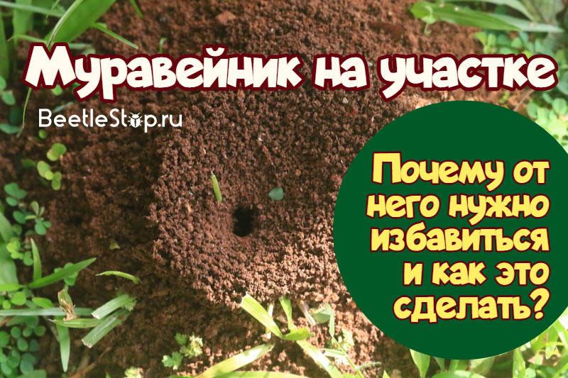 муравейник на участке