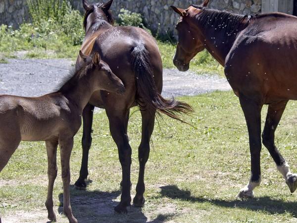 Вредные насекомые донимают лошадей