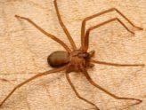 Безобидный на вид и смертельно опасный – коричневый паук отшельник