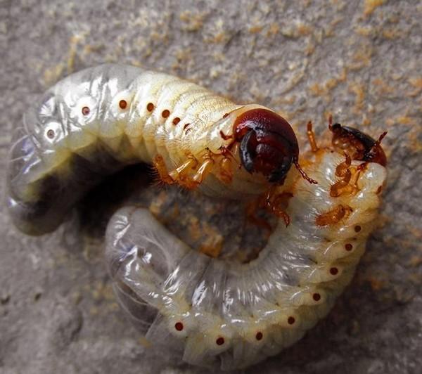 Личинки майского жука