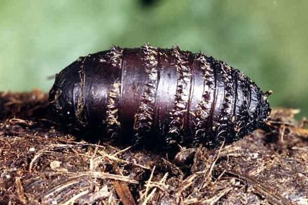 Личинка представителя другого подсемейства