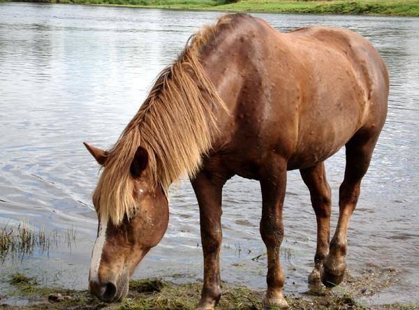Тело лошади поражено оводом