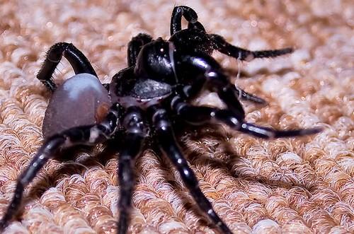 Сиднейский паук