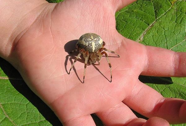Опасный паук