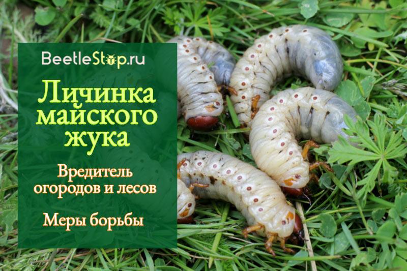 Уничтожить личинок майского жука