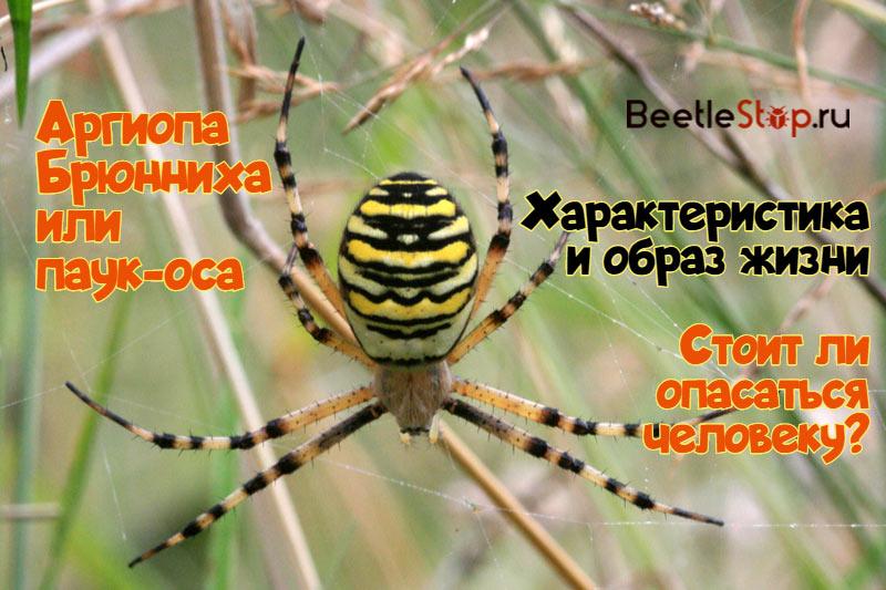 Аргиопа Брюнниха